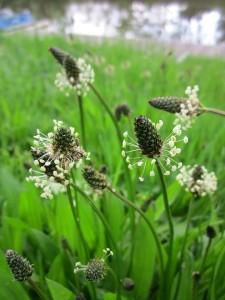 plantago-lanceolata_px