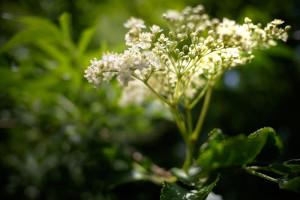 sureau_fleurs